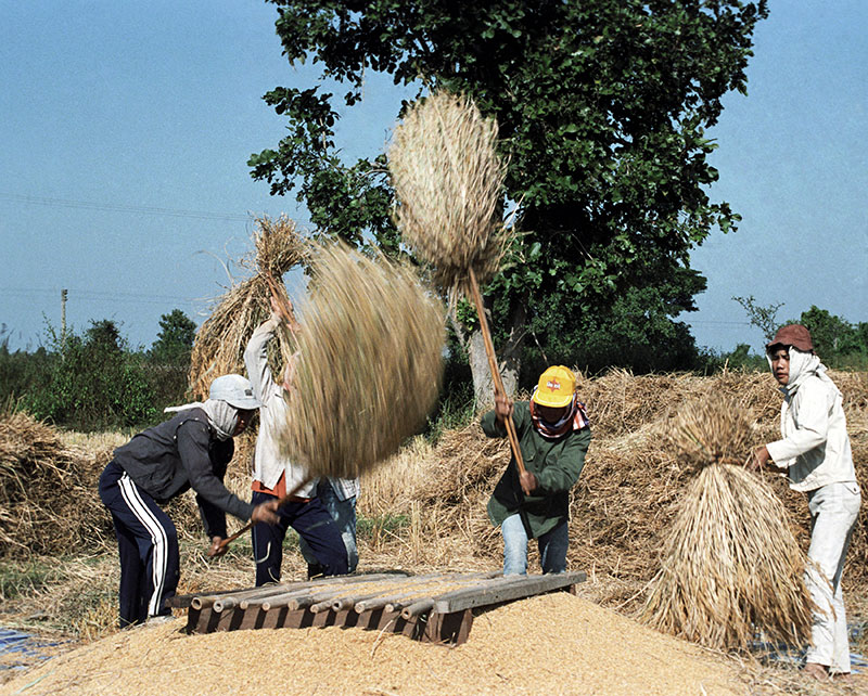 A group of farmers threshing bundles of grain against a wooden platform.